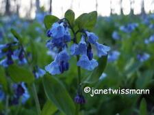 6 Virginia Bluebells Medium size 2-3yr-old Roots Native Mertensia virginica bulb