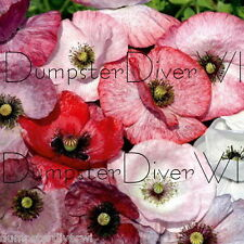 mother of pearl Poppy  black centers mixed colors annual 50 +seeds
