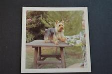 Vintage Photo Yorkie Dog Free Shipping 886
