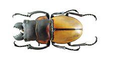 Coleoptera Lucanidae Odontolabis sommeri sommeri (amphiodonte) 44mm Dried Beetle