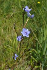 Aristea ecklonii LARGE BARE ROOTED perennial plant