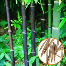 20 Black Pubescens Bamboo Seeds Phyllostachys Pubescens Home Garden Plant L