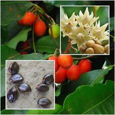 Mimusops elengi 20 Seeds Asian bulletwood Bullet wood Bukal Tanjong tree Medlar