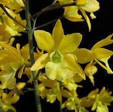 Do Clone -Eplc. Golden Sunburst, Encyclia rufa, Cattleya Orchid, very Fragrant!