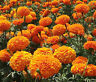 MARIGOLD CRACKERJACK MIX Tagetes Erecta - 2,000 Bulk Seeds