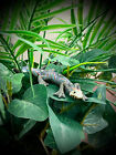 COLLECTIBLE BABY GECKO LIZARD!  HANDMADE!  NO PAINT USED!