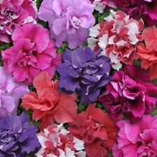 DOUBLE Madness MIXTURE ~ PETUNIA ~ 25 Pelleted SEEDS