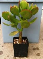 "Sunset Jade Live Plant Crassula Easy to Grow HousePlant 4"" Pot Indoor Outdoor"