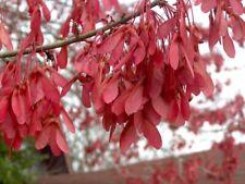 Acer rubrum var drummondii DRUMMOND'S RED MAPLE TREE Seeds!