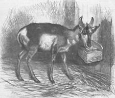 LONDON. Zoo. prong-horned antelope, antique print, 1865