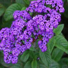 MARINE HELIOTROPE arborescens Dwarf fragrant flower plants 6cell seedling punnet