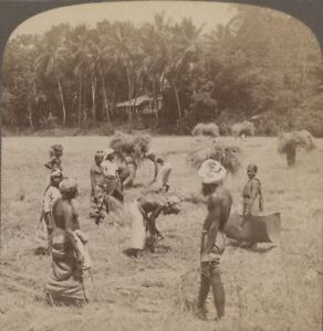 Ceylon. Country Home With Paddy Field & Natives Harvesting Rice - Stereoview