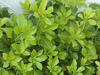 Pachysandra 25+ Live Plants Japanese Spurge Ground Cover Bare Root Organic
