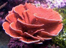 "New listing Live Coral Frag Robbie's Corals Orange Montipora Capricornis Lg 2.5""-3"""