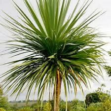 Cordyline australis 50 seeds Cabbage Tree / Palm