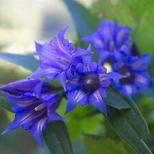 Schwalbenwurz-Enzian • 30+ Samen/seeds • Gentiana asclepiadea • winterhart