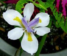 30 Seeds Dietes iridioides, African iris, Cape iris, fortnight lily