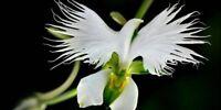 200Pcs Japanese White Egret Orchid Flowers Seeds Bonsai Beautiful Exotic Plants