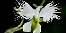 200Pcs Japanese White Egret Orchid Flowers Seeds Bonsai Beautiful Exotic Plants