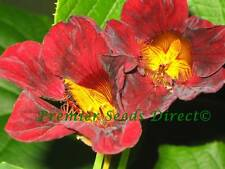 FLOWER NASTURTIUM TROPAEOLUM BLACK VELVET 50 SEEDS