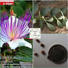 10 CAPER BUSH SEEDS(CAPPARIS SPINOSA); Edible fruit