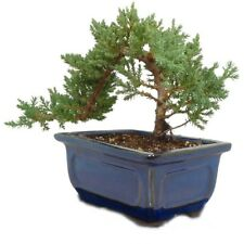 Japanese Dwarf Juniper Bonsai Tree   GREAT GIFT ! # 2