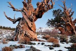 25 x Bristlecone pine seeds (pinus aristata)