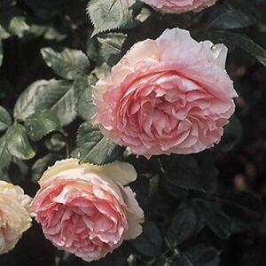 "Eden Climbing Pink Hardy Rose Bush Easy To Grow Starter Plant 3.5"" X 5"" Pot"