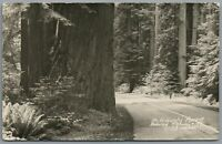 RPPC Postcard Hiouchi Forest CA Redwood Highway 199 tall trees ferns Unposted