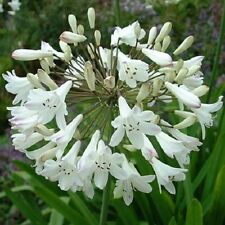 25+ White African Lily Agapanthus Flower Seeds / Perennial