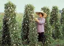 Rare seeds » Centrosema macrocarpum -useful plants - 3 fresh seeds *