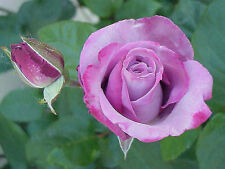 20+Purple Tea Rose Bush Seeds , USA SELLER, ships free