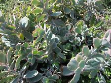 Scallop Kalanchoe Fedtschenkoi 4 Cuttings Cactus Succulents Container Gardening
