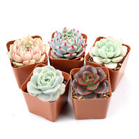 Succulent Plants, 5 Pack of Assorted Rosettes, Fully Rooted in 2'' Planter Pots