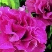 Petunia - Double Cascade Pink - 25 Seeds