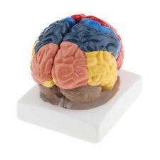 Cervello Modello Parti Corpo Umano Abbellimenti Anatomico Didattico per