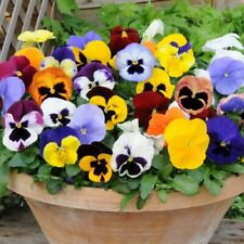 More details for 12x pansy matrix mixed autumn winter flower well rooted mini plug plants