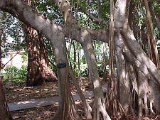 Ficus altissima TREE Exotic Seeds!