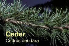 ***Cedernholzöl, Zeder,  Himalaya (Cedrus deodara) Indien 100ml, Topp-Saunaöl!!