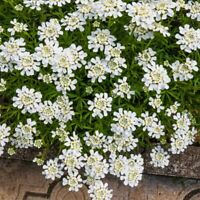 Candytuft /'FAIRY/' 200 Flower Seeds//Candy Tuft//Cottage Garden Favourite//2023 SALE