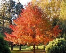 Nyssa sylvatica-blackgum - 12 semillas-bueno para bonsai