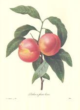 "4 Vintage Redoute Botanical Fruit Prints (10"" x 13"") Lot 4244"