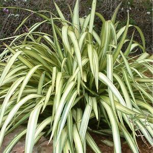 New Zealand Flax-Phormium Cream Delight Plant in 2.5 L Pot