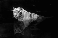 "White Tiger- Wildlife Animals Photo Art - Canvas Giclee Print 24"" x36"""