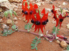 Swainsona formosa Sturts Desert Pea 10+ seeds