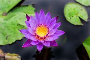 Blue Lily, Lotus Seeds, Nymphaea Caerulea, Blue Lily water plant, free seeds inc