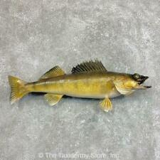 "#22045 P | 25"" Walleye Taxidermy Fish Mount For Sale"