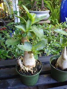 1 Desert Rose Plant/Adenium Obesum. Height 8-11 inches