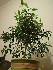 Weeping Fig - FICUS BENJAMINA - 20 Seeds Tree