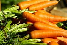 800+ Danvers 126 Carrot Seeds ORGANIC | Non-GMO | Fresh Vegetable Garden Seeds